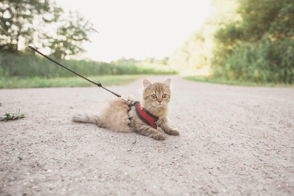 Er sele og bånd katteutstyr? Kanskje for noen, men absolutt ikke for mange