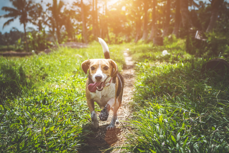 Hunder og katter blir mye bitt av flått fordi de beveger seg i høyt, fuktig gress og busker.