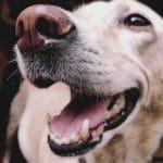 Tannpuss for hunder