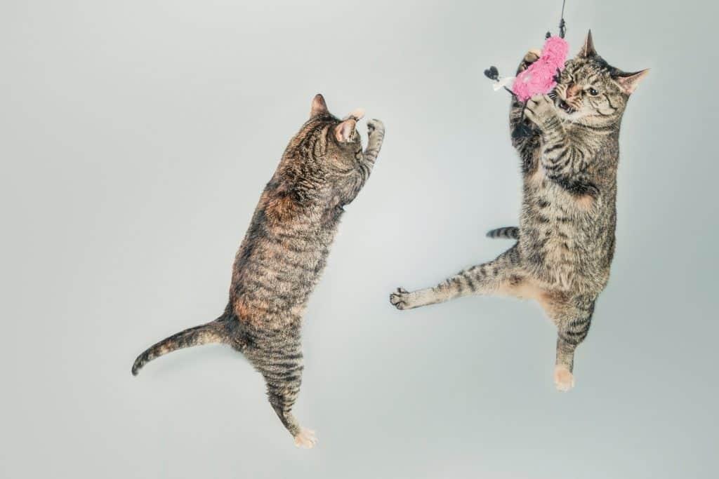 Kattemyte som stemmer - katter faller nesten alltid på bena