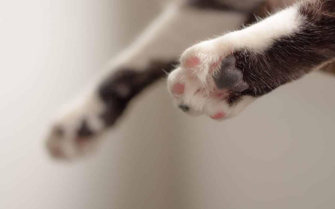 11 viktige ting om kattepoter