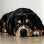 Hvor mye mat skal en voksen hund ha?