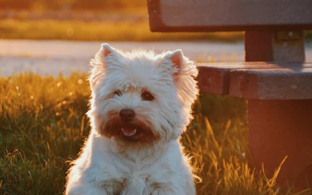 Hundeallergi og allergivennlig hund