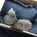 Å redde et pinnsvin – eller to