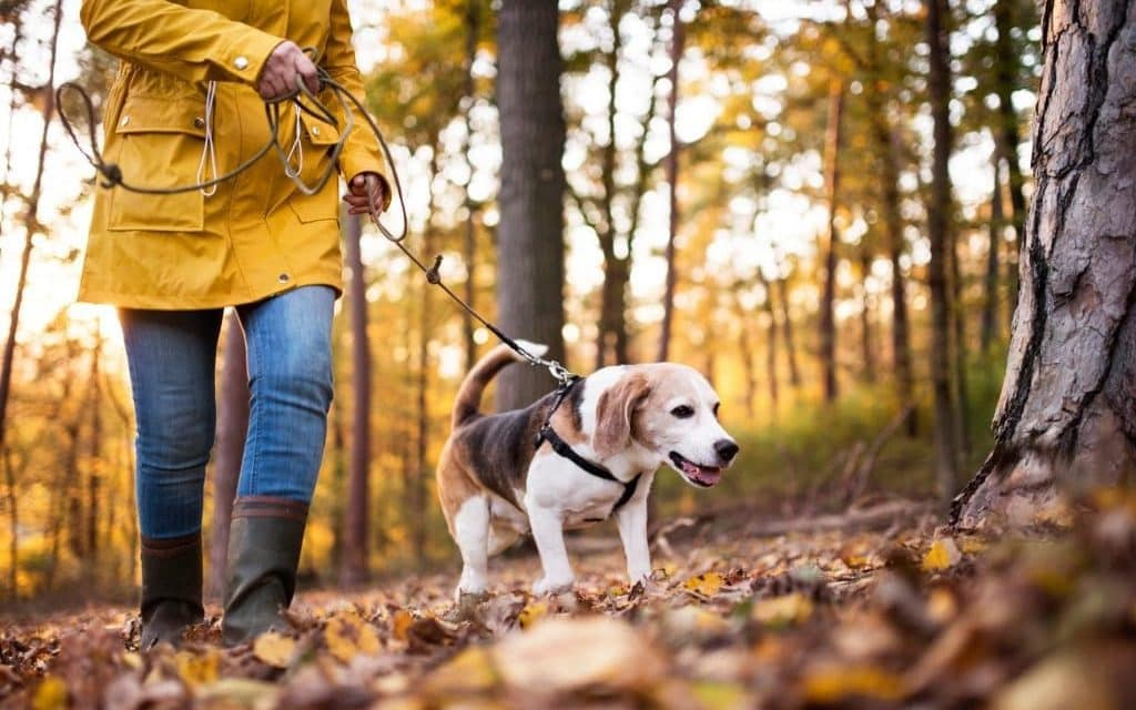 Lære hund å gå i bånd   Slik gjør du det